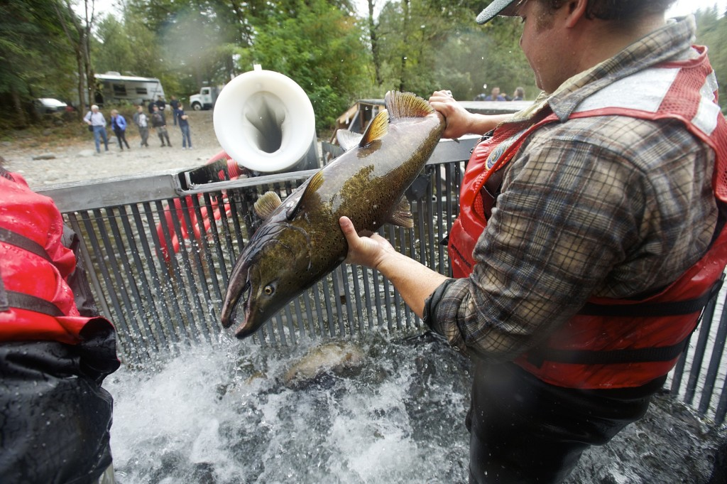 Salmon slip slide on wild ride in cannon the columbian for Washougal river fishing