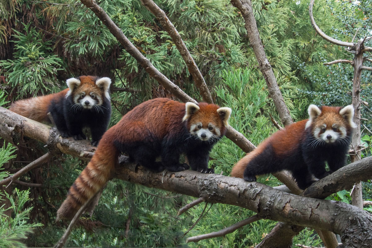 Two Baby Red Pandas Make Debut at the Philadelphia Zoo