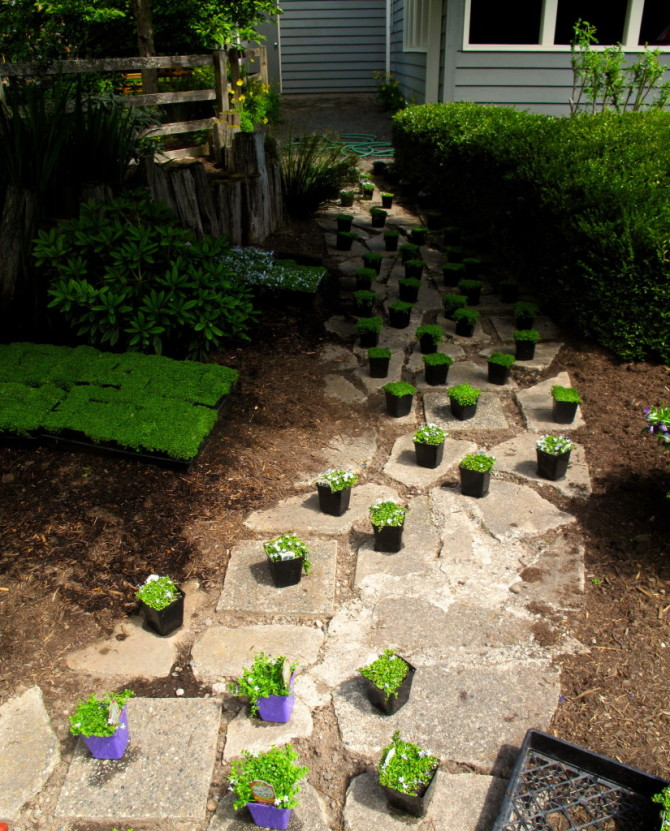 Steppable Plants For Walkways Patios And More The