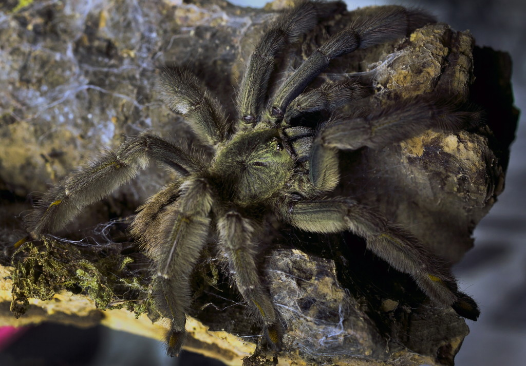 Dome can grow to the size of a dinner plate & Scary tarantulas fail to spook loyal owners | The Columbian