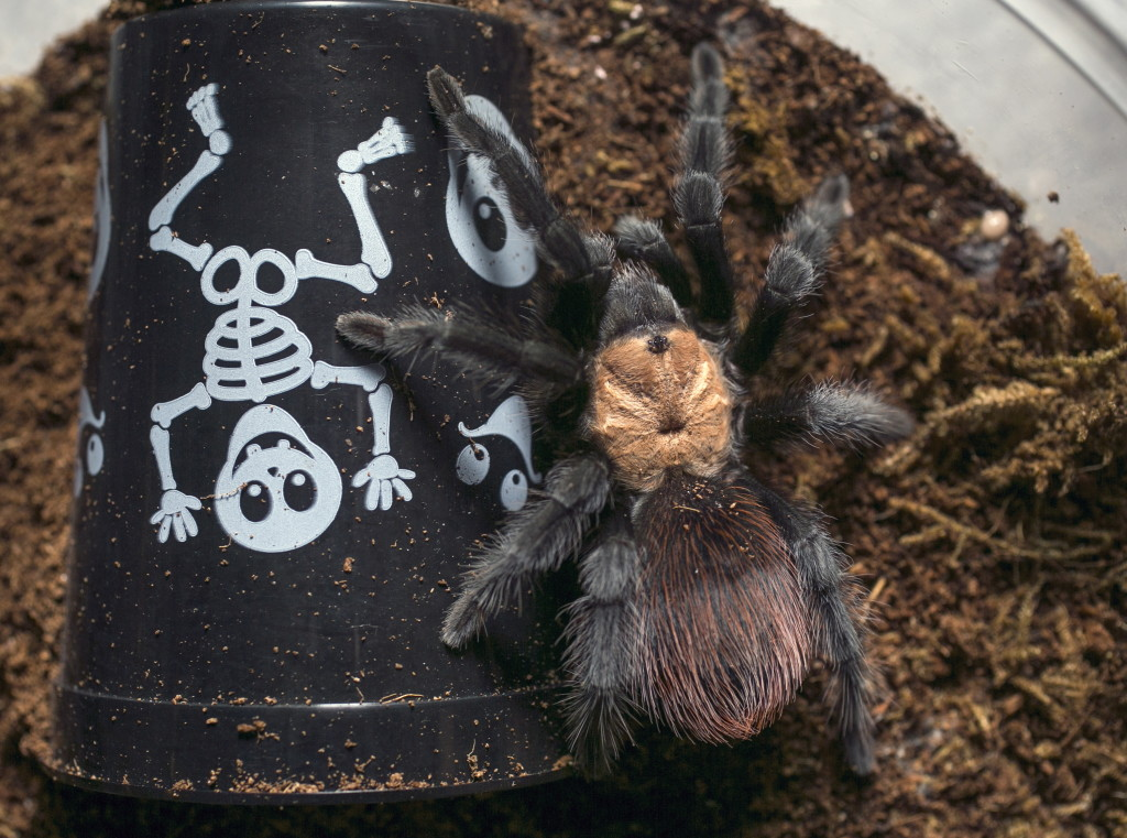 & Scary tarantulas fail to spook loyal owners | The Columbian