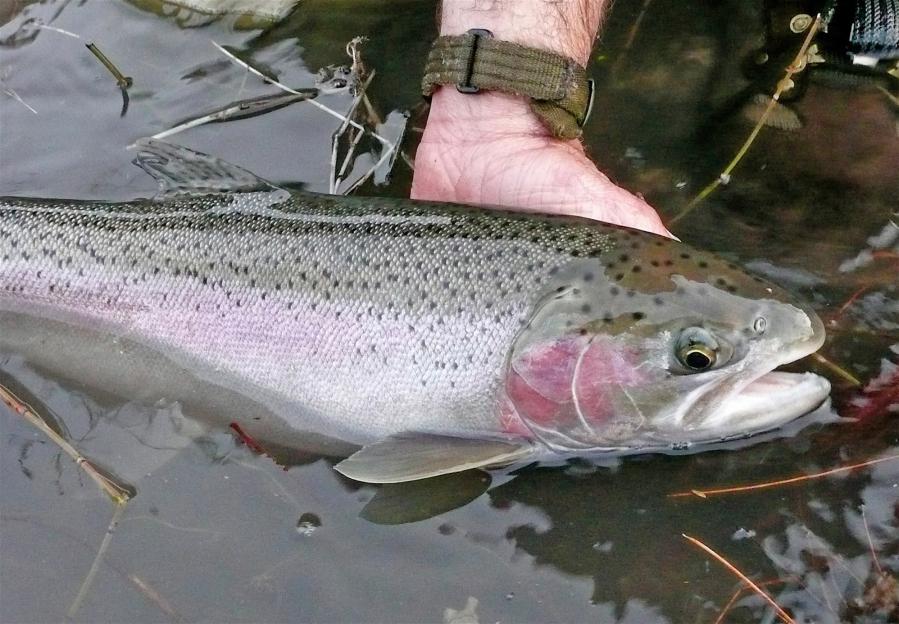 Bonneville steelhead returns worrisome the columbian for Bonneville fish counts