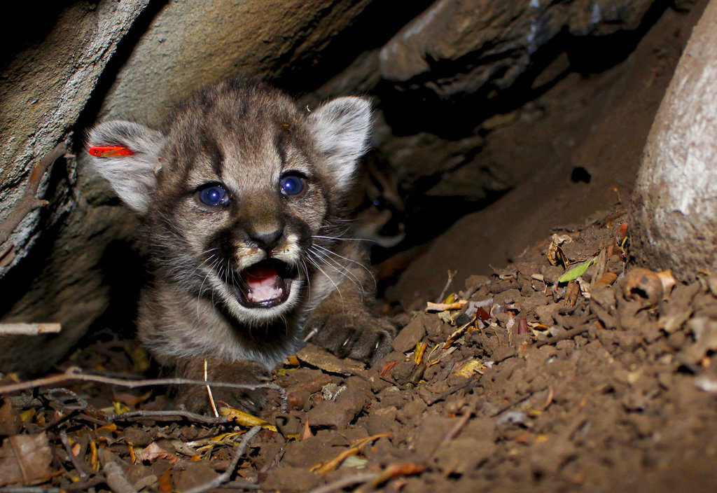 4 new mountain lions kittens found in california mountains the this june 11 2018 photo provided by the national park service shows a mountain lion kitten identified as p 68 this is one of four new mountain lion spiritdancerdesigns Choice Image