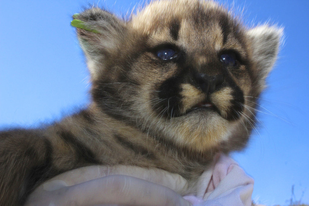 4 new mountain lions kittens found in california mountains the 4 new mountain lions kittens found in california mountains spiritdancerdesigns Choice Image