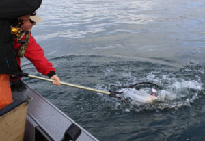 Barbless hooks, required for Columbia salmon fishing, are unforgiving if you handle the fish wrong.
