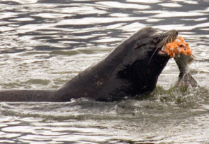 FILE- In this April 24, 2008 file photo, a sea lion eats a salmon in the Columbia River near Bonnevi