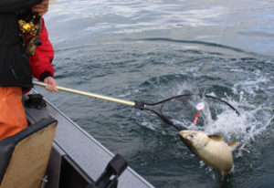 The action has been good for coho and fair for Chinook out at the Columbia River estuary. There have