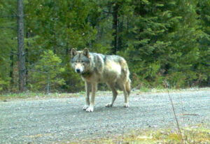The wolf OR-7 stands in the Rogue River-Siskiyou National Forest on May 3, 2014, in southwest Oregon
