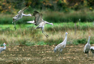The sandhill crane is considered extremely ancient; the oldest fossil example has been dated at 2.5