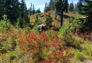 Barbara Otto picks huckleberries at the Sawtooth Berry Fields in the Gifford Pinchot National Forest