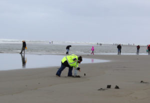 Local razor clam diggers will have to wait until December 22 for the first dig on Long Beach. The c