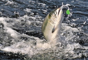 A chinook salmon is hooked near Brookings, Ore. Canada and several U.S. states would reduce their ca