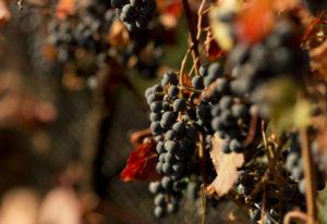 Stavalaura Vineyards, in Ridgefield, is a 5-acre vineyard run by Joe Leadingham. His harvest team pr