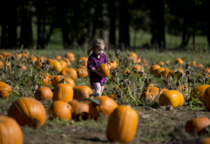 Lilly Wagoner, 2, of Washougal chooses her favorite pumpkin in the patch Saturday at Pomeroy Farm in