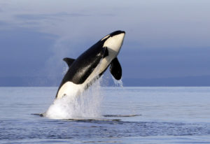 An endangered female orca leaps from the water while breaching in Puget Sound west of Seattle on Jan
