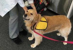 Therapy dog Winnie in Baltimore, Md. Meghan Davis/ Johns Hopkins University