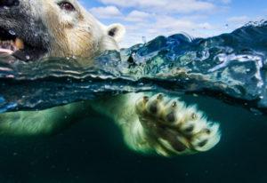 Underwater camera meets swimming polar bear, Hudson Bay. Paul Souders