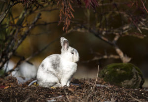 A bunny basks in the sun in the front yard of a home in central Vancouver's Ogden neighborhood. Ther