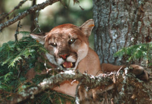 Though rare, attacks by cougars are getting renewed attention following two recent deadly encounters