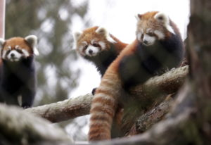 Twin red panda cubs Zeya, right, and her sister Ila, center, look out from a perch in their temporar