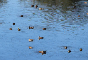 Where are the ducks? Dry, warm weather has kept the northern ducks and geese held up in Canada. Wate