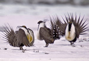 FILE - In this April 20, 2013 file photo, male greater sage grouse perform mating rituals for a fema